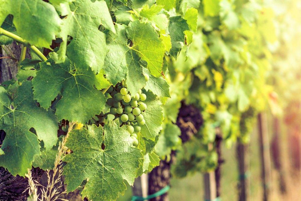 Parreira de uva verde